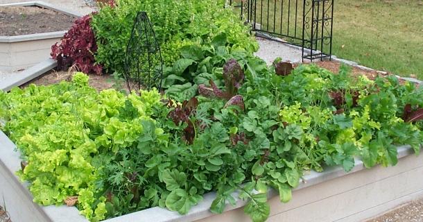 garden with lettuce