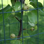 Asian Pears on 2yr old tree