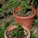 Blackberries in Pots