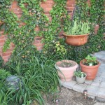 Edible Planters:Blackberry, Peas, Mint, Sweet Potatoes - also Daylilies and Ivy Wall