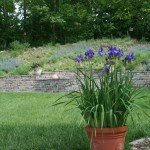 Siberian Iris in pot in front of Hillside Garden