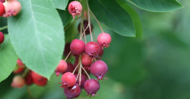 Serviceberry - a native edible fruit tree