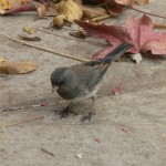 Snowbird - Dark Eyed Junco