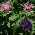butterfly bush and bee balm