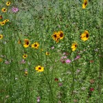 coreopsis tinctoria and cosmos