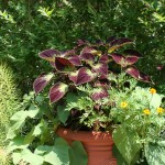 edible sweet potatoes and coleus in a pot