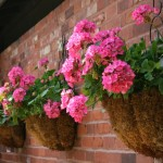 Edible sweet potatoes and geranium in wall planters