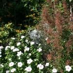 Agastache 'Firebird' and Annual Vinca