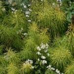 Amsonia hubrechtii and Eupatorium rugosum