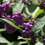 Japanese beautyberry / Callicarpa japonica