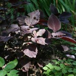 Coleus in the Shade Garden