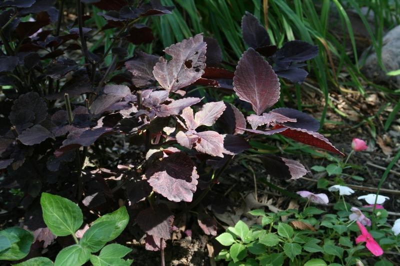 Coleus in the Shade Garden