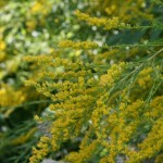 Goldenrod Solidago spp
