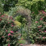 Knock Out Roses in September