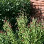 Autumn Sage / Salvia greggii 'Maraschino'