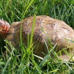 Three-Toed Box Turtle / Terrapene carolina triunguis