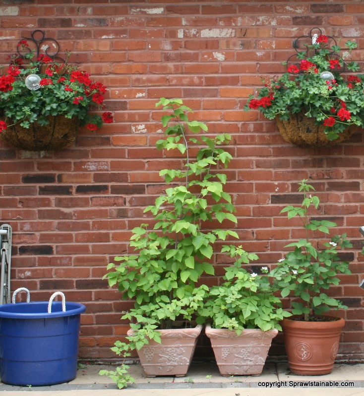 overwintering berries in outdoor pots and containers has worked for me