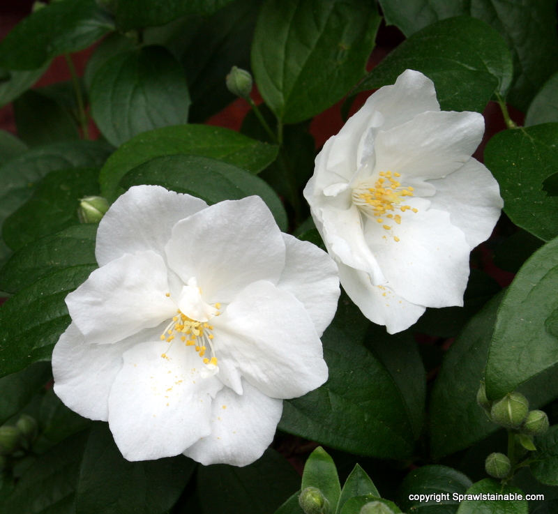 mockorange Philadelphus 'Innocence' is pretty but only slightly fragrant for me