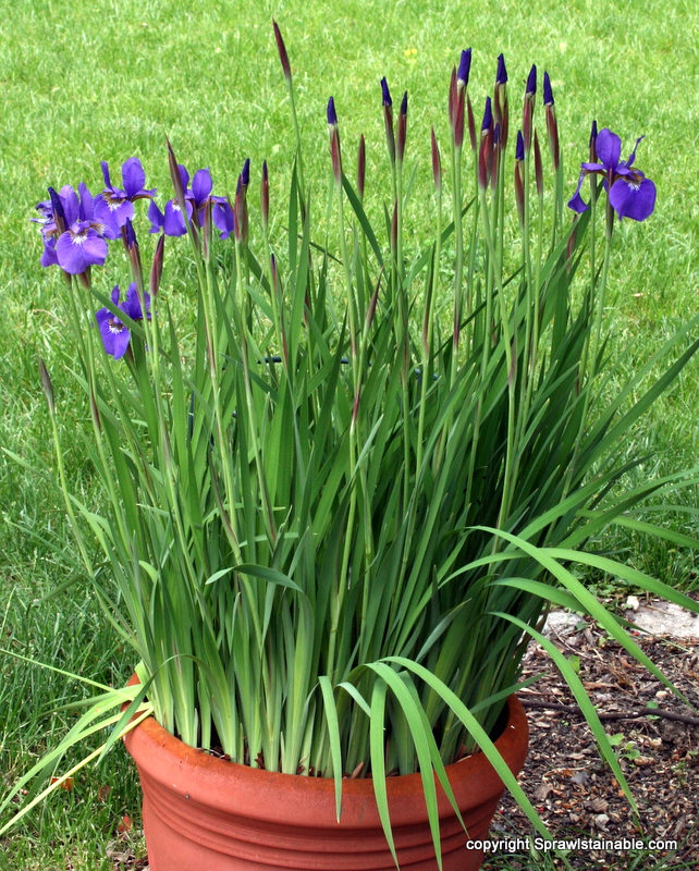 siberian Iris 'Caesar's Brother' can be overwintered outside in pots in zone 6