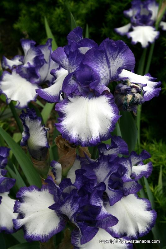 Bearded Iris 'Batik'