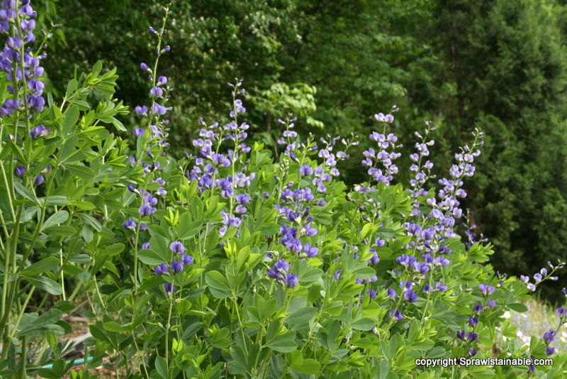 Baptisia australis - blue false indigo Missouri drought tolerant Native perennial in bloom