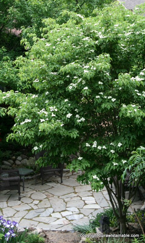 Cornus kousa dogwood in bloom by dry flagstone patio