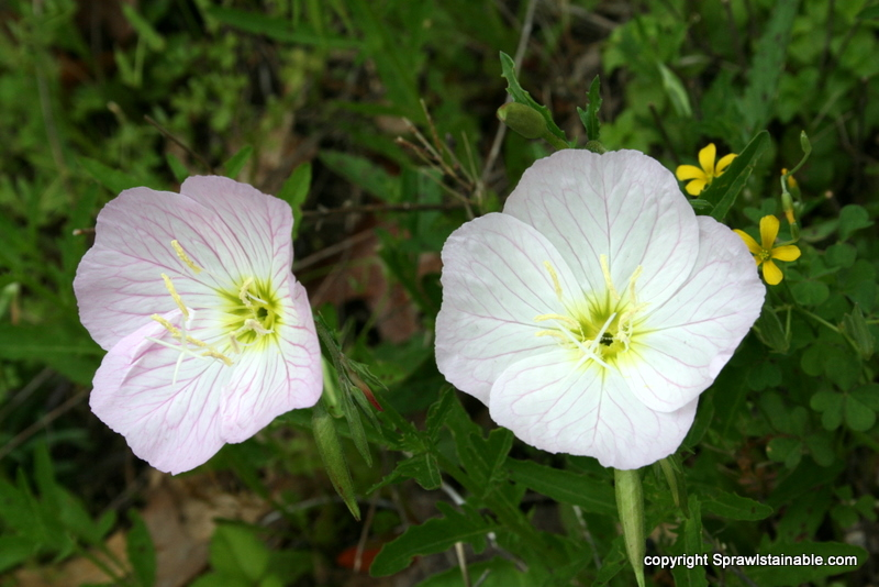 Missouri Native white evening primrose - Oenothera speciosa