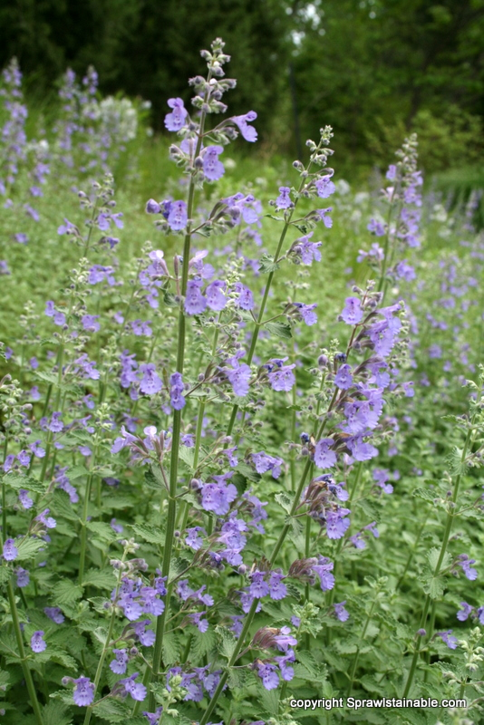 nepeta 'walkers low' catmint in bloom on hill garden