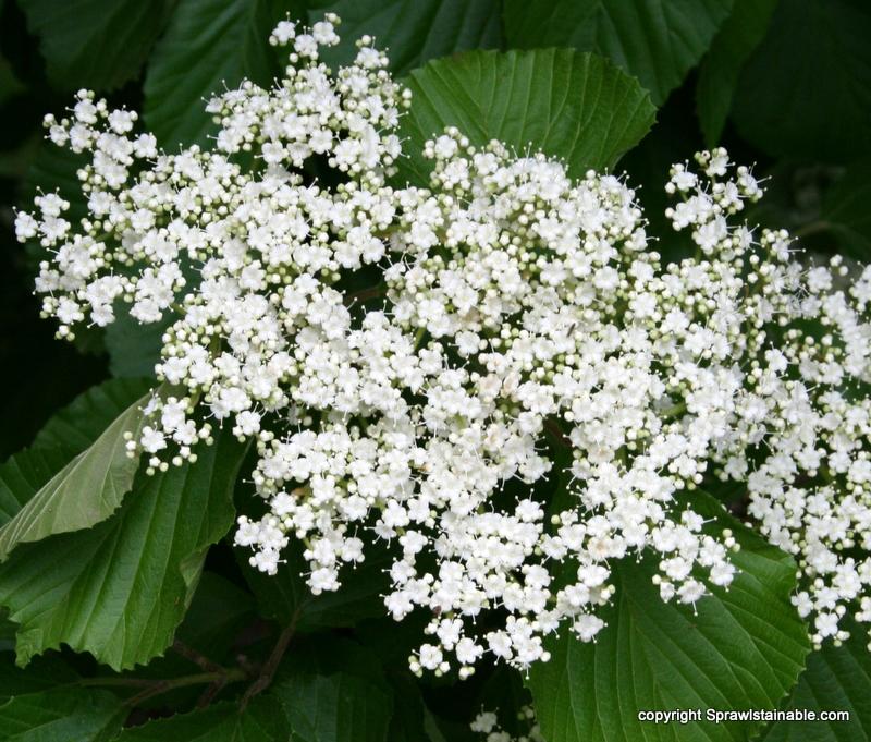 linden viburnim - viburnum dilatatum 'erie' flower