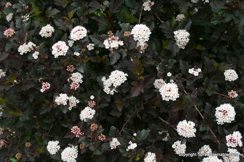 Physocarpus opulifolius 'Seward' SUMMER WINE in bloom - ninebark