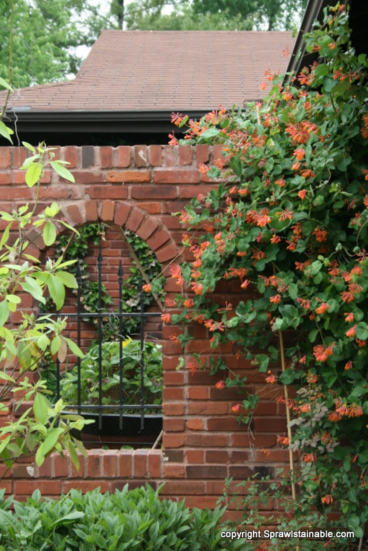 the trumpet honeysuckle is the exact same color as the brick on the house