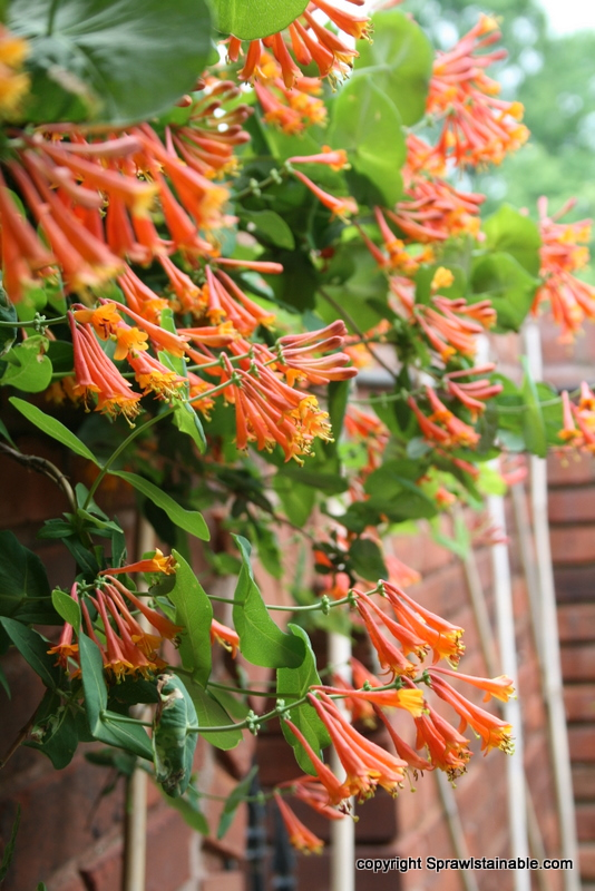 2 year old trumpet honeysuckle Lonicera sempervirens climbing over wall