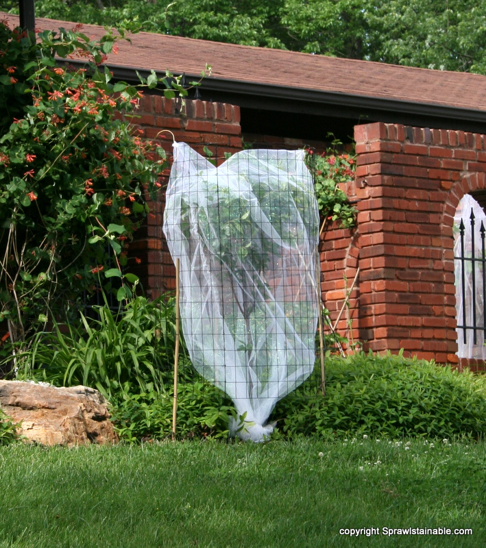 2011 cicada netting (and deer fence protection) on cherry tree