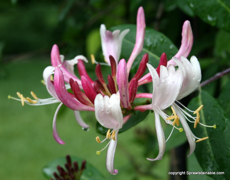Native Pink Honeysuckle macro