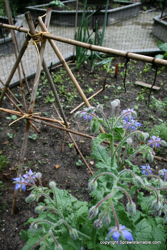 Borage and Cucumber trellis