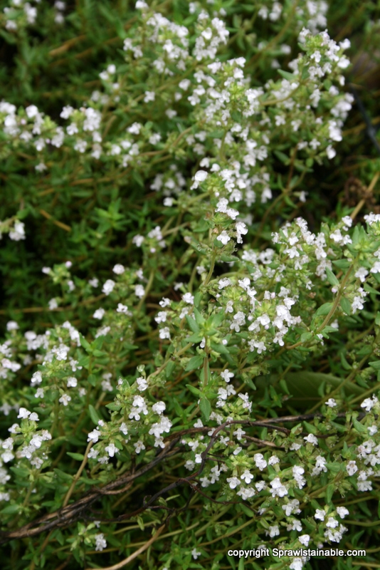 Common Thyme in flower
