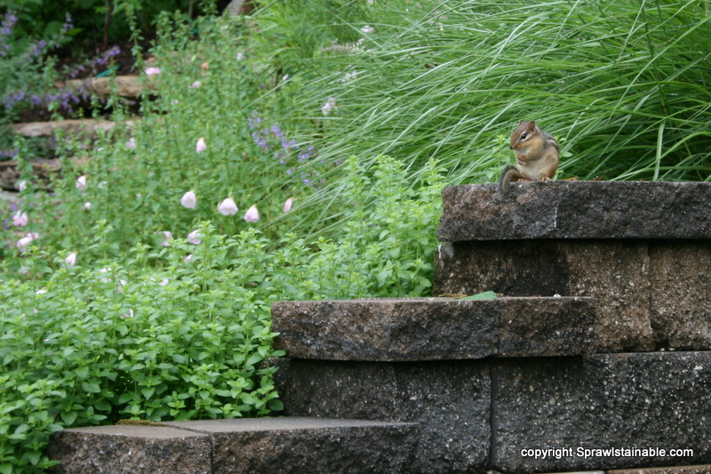 Friendly Chipmunk on wall