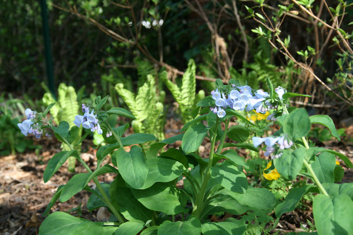Native Virginia Bluebells - Mertensia virginica