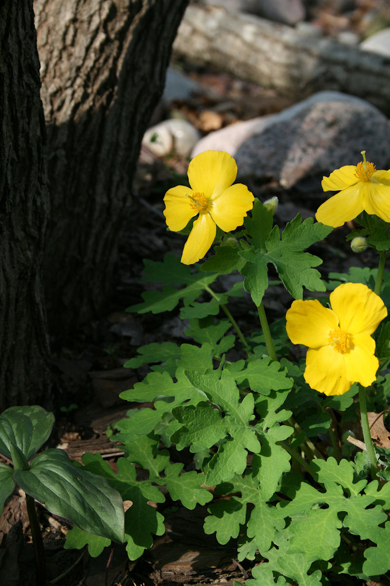 Native Celandine Poppy in Bloom - Stylophorum diphyllum