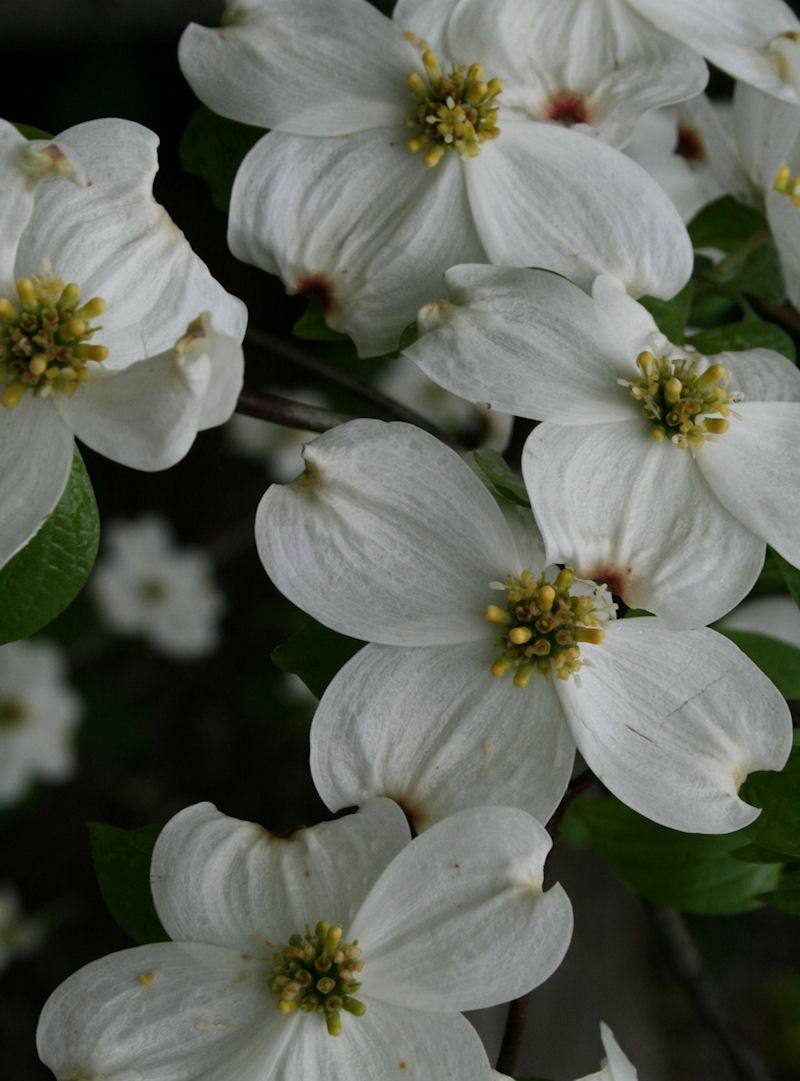 Flowering Dogwood - Cornus Florida in bloom white