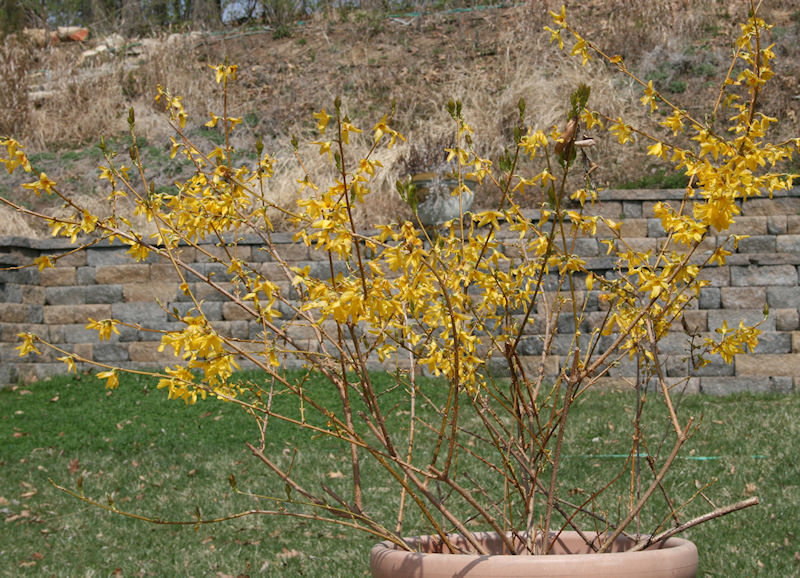 Native Border Forsythia - Forsythia x intermedia in bloom overwintered outside in planter