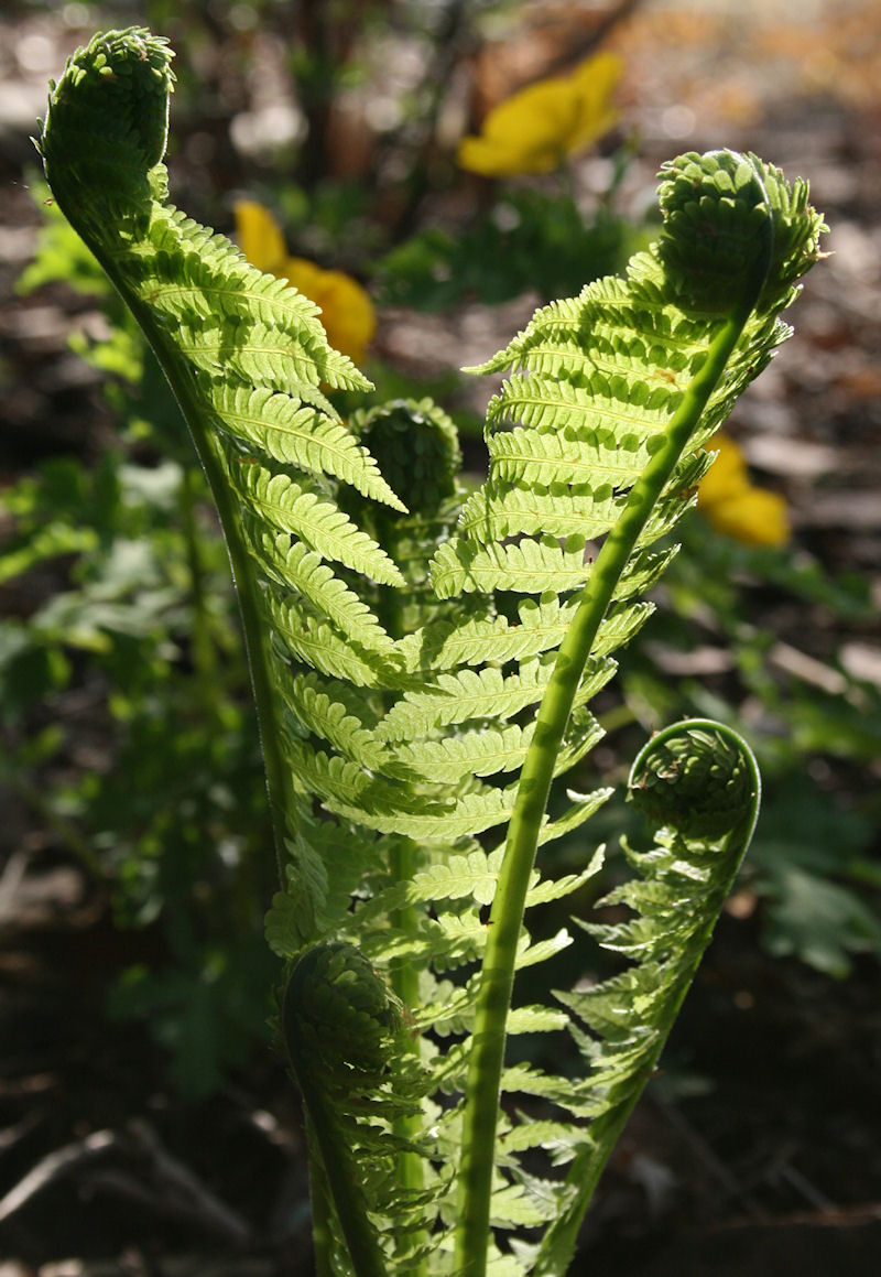 Native Lady Fern - Felix Femina