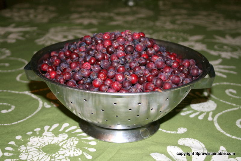 the serviceberries are so pretty, and this is only about 1/3 of what we picked so I froze the rest to put on cereal