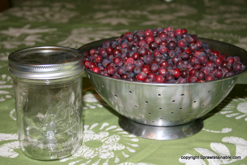 This is about 3 pounds of fresh picked serviceberries next to a pint sized jar.