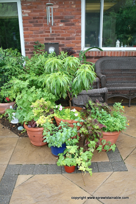 Patio Planters with Edible herbs, patio nectarine tree, coleus and marigolds
