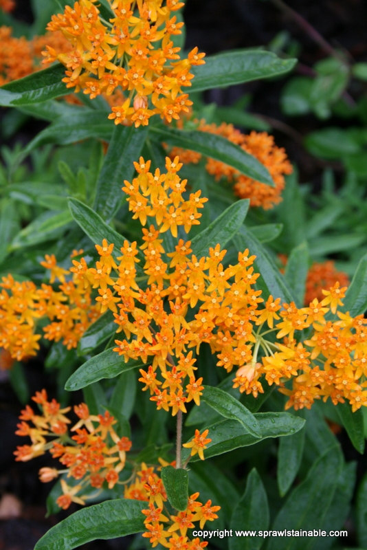 Asclepias tuberosa - Butterfly Weed - a native plant that is a host for Monarch Butterfly larvae
