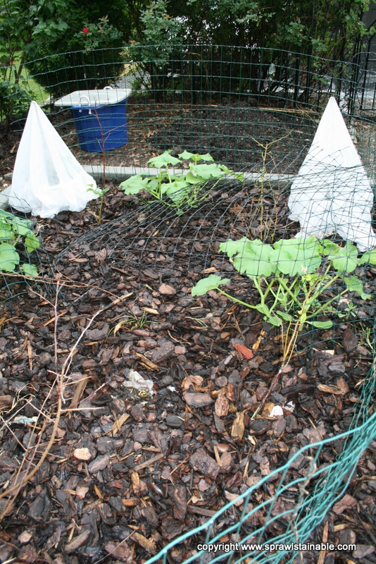 Pumpkin Plants in June and Eggplant covered with floating row cover to protect them from flea beatles