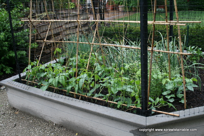The Yardlong Beans In June on a Bamboo Trellis behind Deer Net