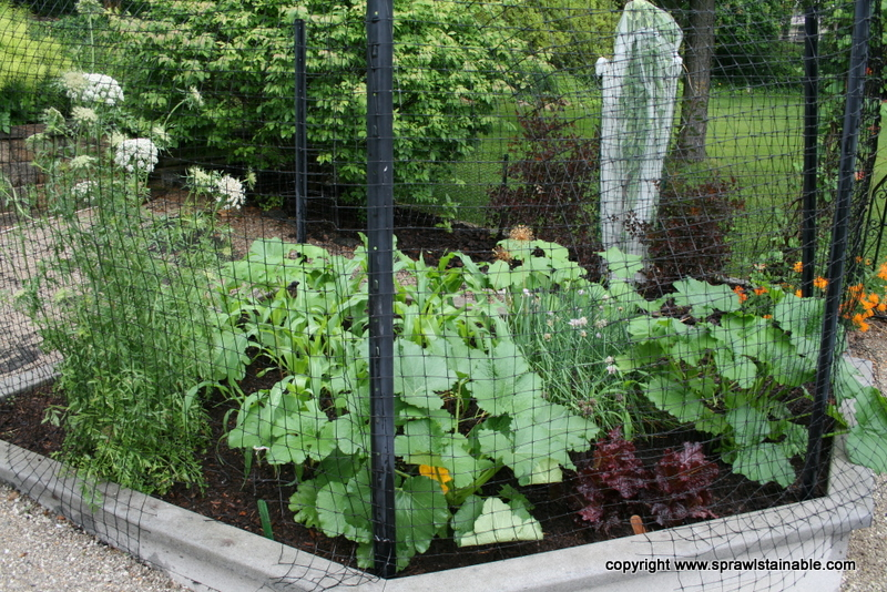 Three Sisters Planting - Corn Beans and Squash, with a carrot I left in the ground over the winter, blooming to attract beneficial insects
