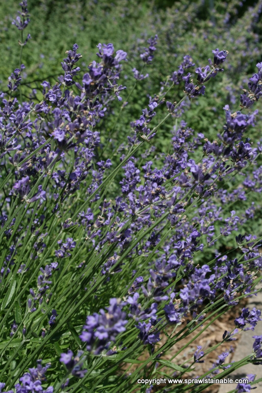 Hidcote Lavender in Bloom